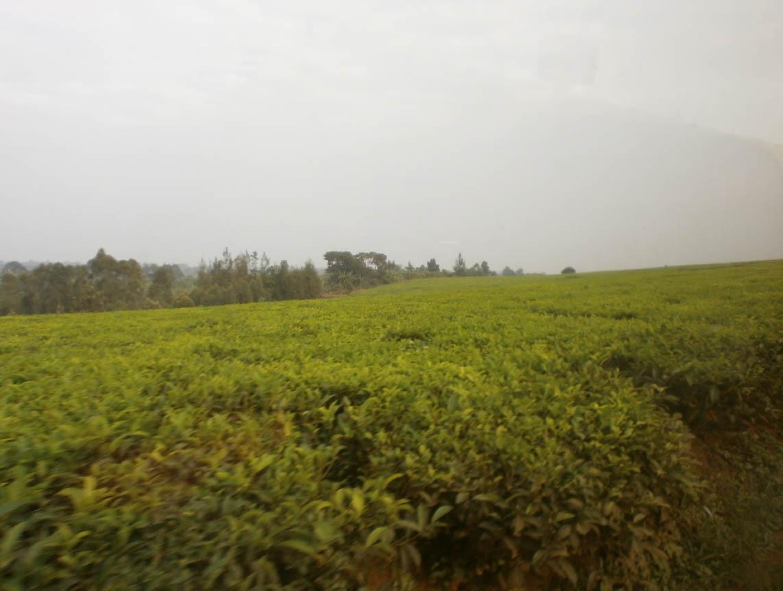 Prima di arrivare a destinazione abbiamo attraversato anche estese piantagioni di tè (che non avevo mai visto prima) e di tanto in tanto si vedevano alcuni braccianti che ne raccoglievano le foglie.