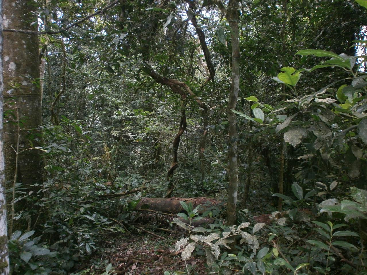 Il Kibale Forest National Park con un estensione totale di 766 Km2 è costituito soprattutto dalla foresta tropicale umida ma comprende anche altri tipi di habitat come praterie e zone umide. Le specie arboree maggiormente rappresentate sono: Picea excelsa e i generi Aningeria, Newtonia, Olea (Foto: I.Toni).
