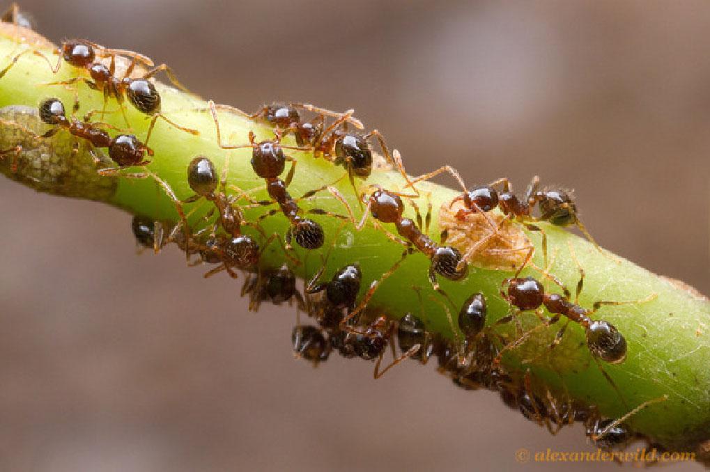 Operaie di Pheidole mentre accudiscono degli emitteri. Si tratta di un genere di formiche che ho raccolto in grande quantita essendo semplice da raccogliere, tra i più diffusi e abbondanti (Foto: A.Wild) (http://myrmecos.net/).