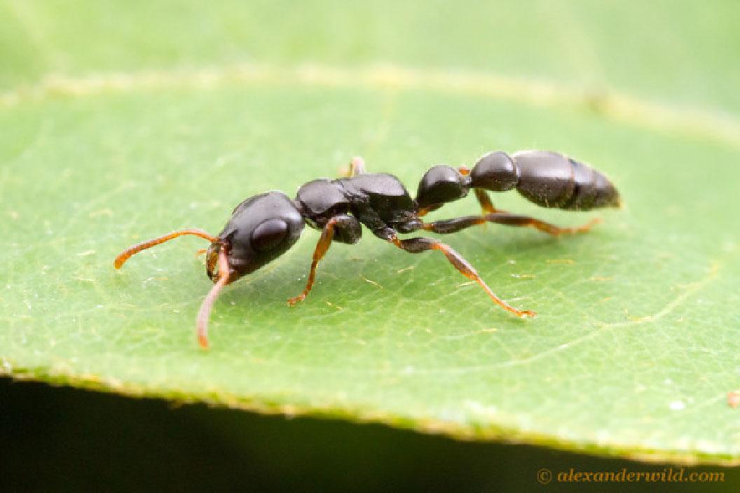 Operaia di Tetraponera mocquerysi mentre foraggia (Foto: A.Wild) (http://myrmecos.net/). Le Pseudomyrmecinae sono molto veloci e l'unico modo con cui riuscivo a catturarle era usando direttamente le dita, quindi spesso mi sono beccata dolorose punture di difesa.