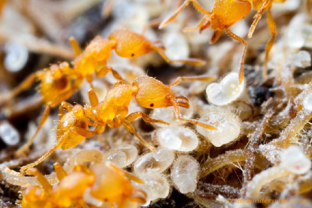 Operaie di Strumigenys lujae mentre accudiscono le larve nel nido (Foto A.Wild) (http://myrmecos.net/).